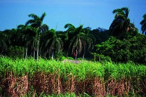 Zuckerrohr in Kuba