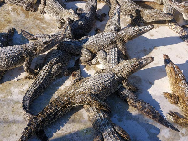 Crocodile farm in Kuba