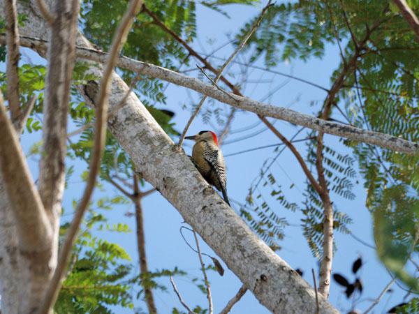 Fauna Kuby - ptaki